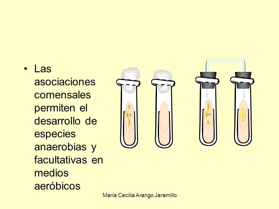 María Cecilia Arango Jaramillo Comensalismo, +/0: Levaduras/bacterias Cuando el medio tiene alta concentración de azúcar las levaduras crecen pero no las bacterias Cuando los hongos han metabolizado parte del azúcar, el medio queda acondicionado para que las bacterias se desarrollen Las levaduras también producen vitaminas favorables a las bacterias