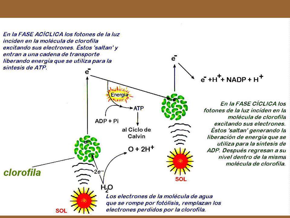 Excitación de la molécula de clorofila