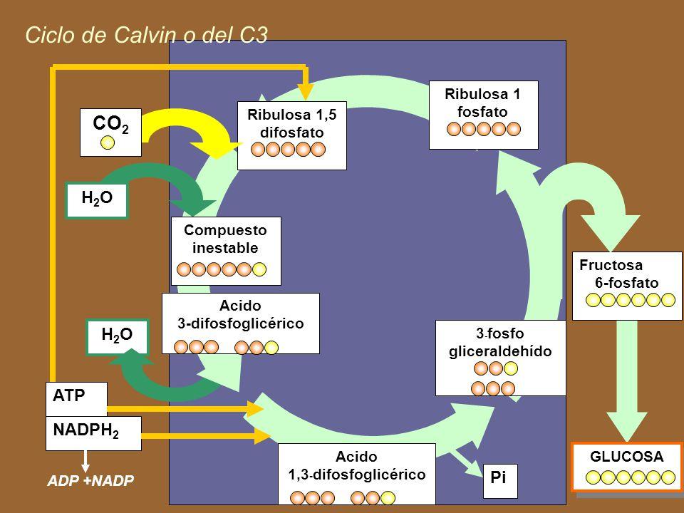 Productos de la fase lumínica y reacciones de la fase oscura 6CO 2 + 18 ATP + 12 NADPH 2 Enzima C 6 H 12 O 6P+ 18 ADP + 17 P inorgánico + 12 NADP Hexo