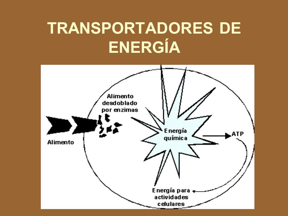 NO FOTOSINTÉTICOS Obtienen energía para sintetizar compuestos orgánicos del desdoblamiento de otros compuestos orgánicos preexistentes.