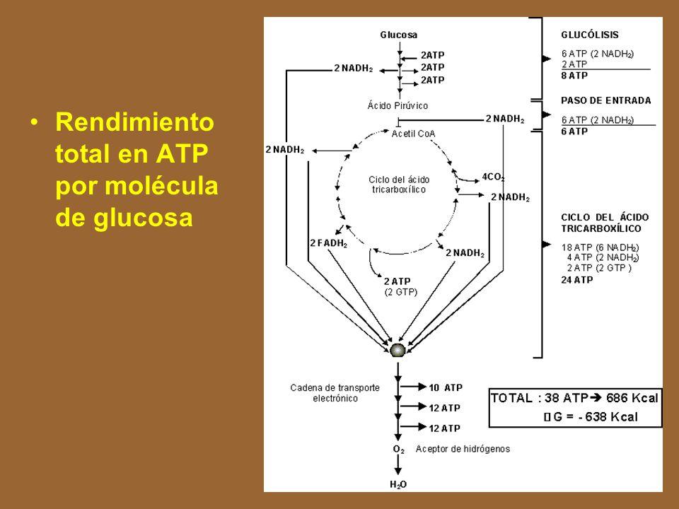NADH 2 NAD + Sustancia reducida Sustancia oxidada ATP FADH 2 FAD FMN FMNH 2 CoQ CoQH 2 H+H+ Flavoproteína ADP + P Coenzima Q Citocromo b - Citocromo c