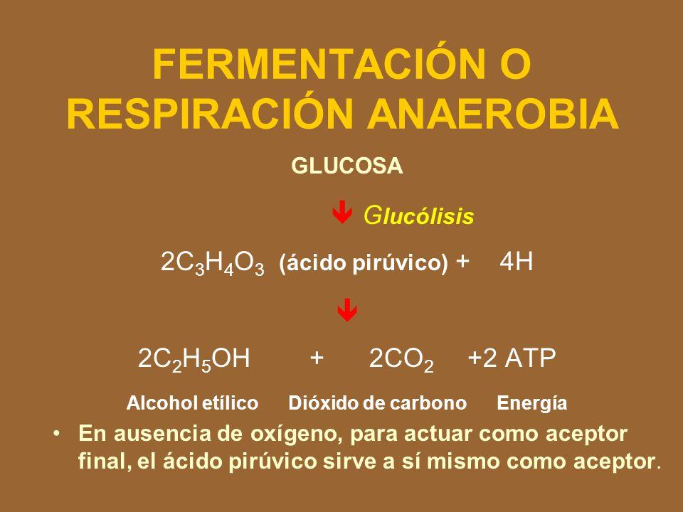 El rendimiento total en ATP por respiración aeróbica a partir de una molécula de glucosa La oxidación completa de la glucosa, vía glucólisis, ciclo AT