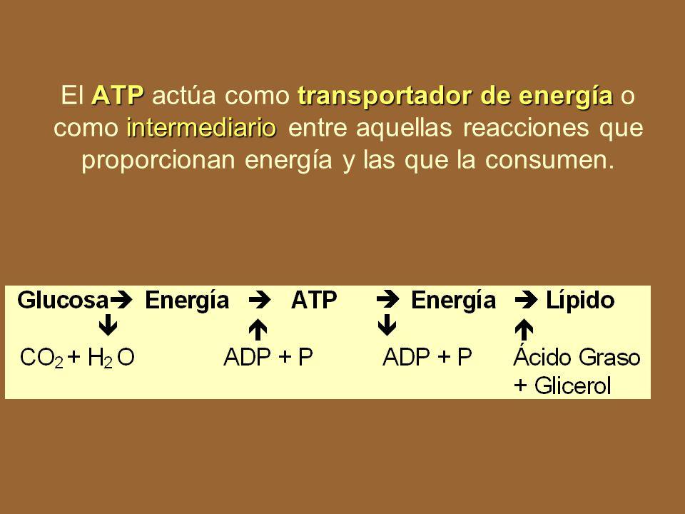 ATPtransportador de energía intermediario El ATP actúa como transportador de energía o como intermediario entre aquellas reacciones que proporcionan energía y las que la consumen.