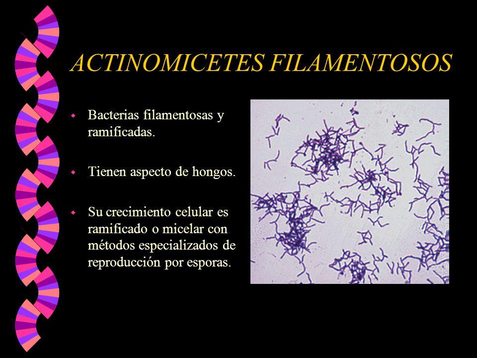 ACTINOMICETES FILAMENTOSOS w Bacterias filamentosas y ramificadas. w Tienen aspecto de hongos. w Su crecimiento celular es ramificado o micelar con mé