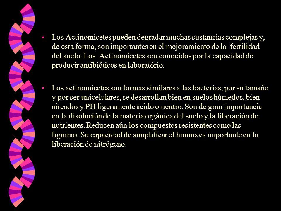 w Los Actinomicetes pueden degradar muchas sustancias complejas y, de esta forma, son importantes en el mejoramiento de la fertilidad del suelo. Los A