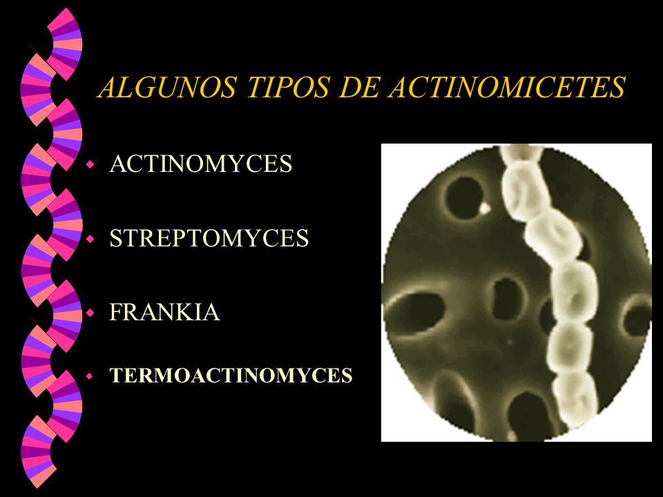 ALGUNOS TIPOS DE ACTINOMICETES w ACTINOMYCES w STREPTOMYCES w FRANKIA w TERMOACTINOMYCES