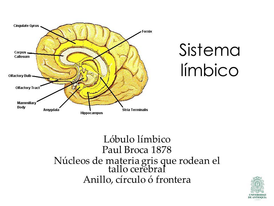 Sistema límbico Lóbulo límbico Paul Broca 1878 Núcleos de materia gris que rodean el tallo cerebral Anillo, círculo ó frontera