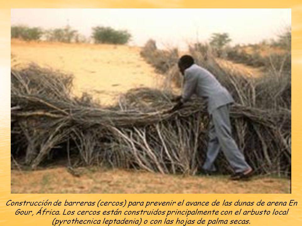 Construcción de barreras (cercos) para prevenir el avance de las dunas de arena En Gour, África.