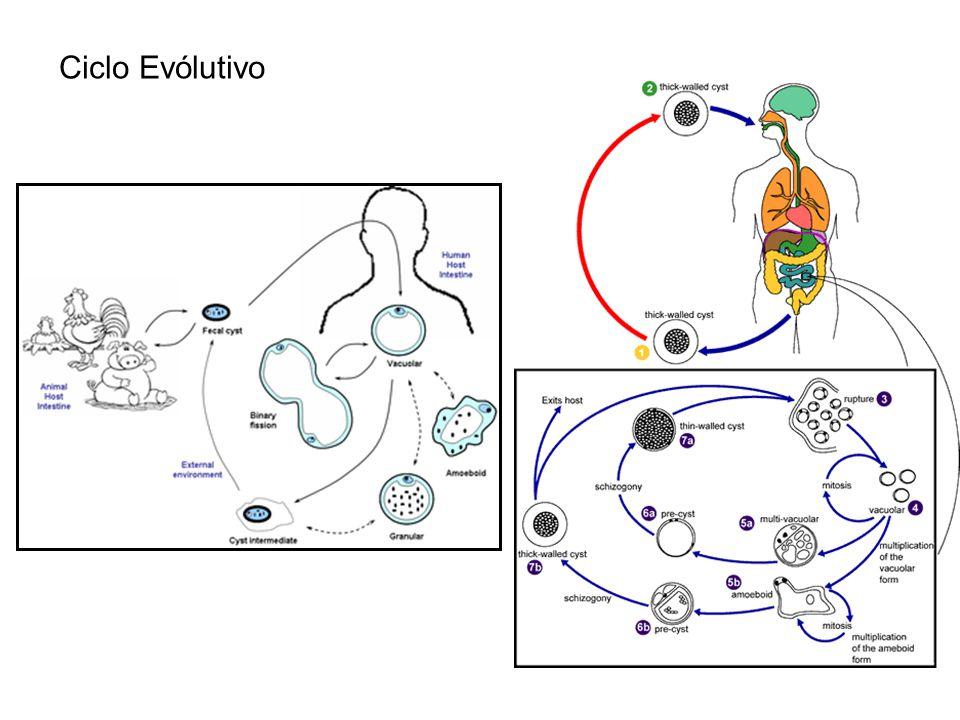Ciclo Evólutivo