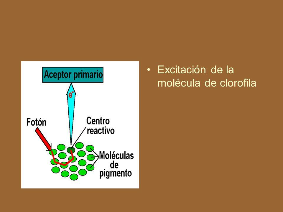 Estructura del cloroplasto y de las membranas fotosintéticas.