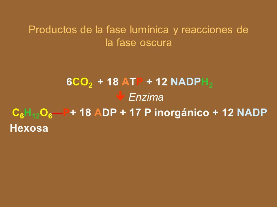 Clorofila Fase lumínica 12 H 2 O AD P NADP 18 ATP+ 12 NADPH 2 + 6 O 2