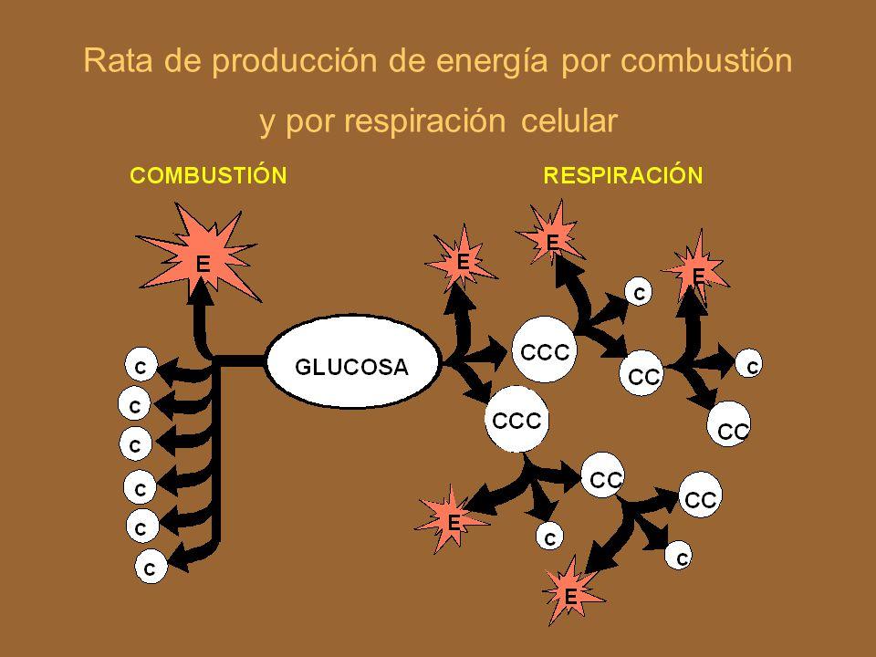 RESPIRACIÓN AEROBIA C 6 H 12 O 6 + 6 O 2 Enzimas Energía (38 ATP) 6CO 2 +6 H 2 O+ Energía (38 ATP) G = -686 Kcal G = -686 Kcal http://www.umb.edu.co/umb/cursos/Bioquimica/Modulo3/mod3a.htm
