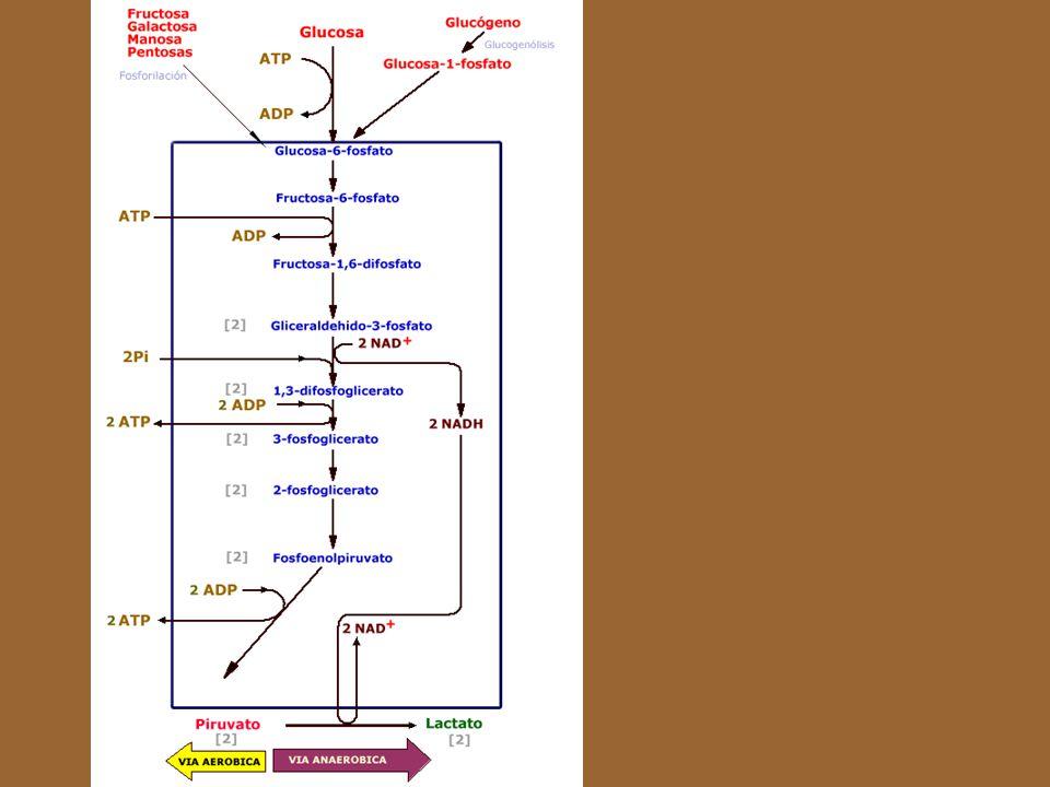 La glucólisis, ruta metabólica común a todos los organismos