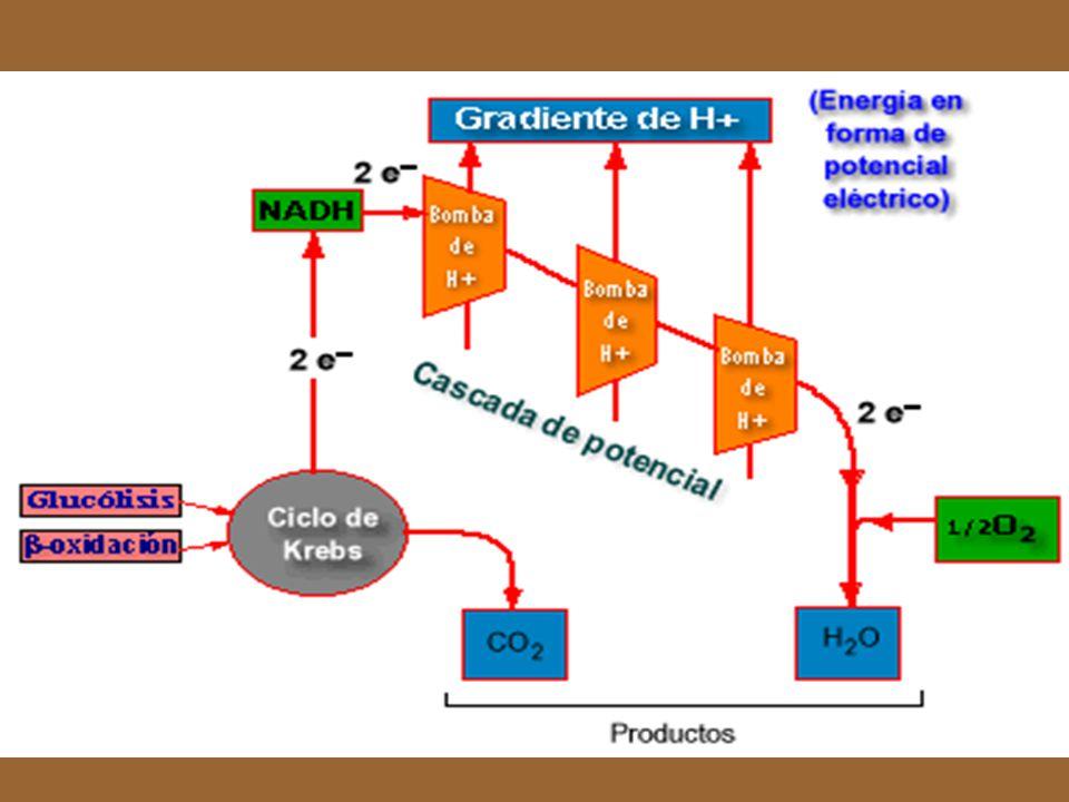 La ATPasa utiliza el potencial eléctrico que se crea por la diferencia entre la concentración de protones (H+) entre el lado externo y el lado interno de la membrana interna de la mitocondria: una verdadera pila voltáica biológica