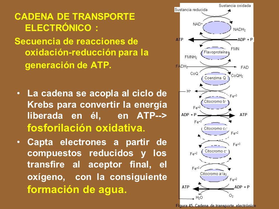 En la respiración los electrones son transferidos de manera secuencial a través de una serie de proteínas transportadoras adosadas a la membrana celular.