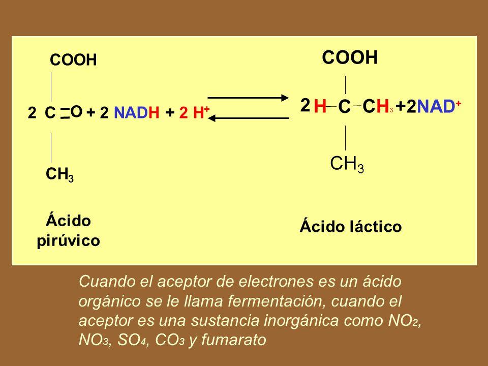 GLUCOSA G lucólisis 2C 3 H 4 O 3 (ácido pirúvico) + 4H 2C 2 H 5 OH + 2CO 2 +2 ATP Alcohol etílico Dióxido de carbono Energía En ausencia de oxígeno, para actuar como aceptor final, el ácido pirúvico sirve a sí mismo como aceptor.