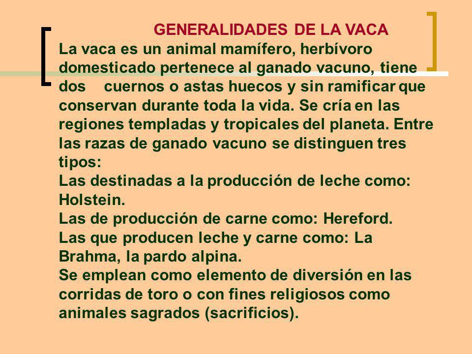 GENERALIDADES DE LA VACA La vaca es un animal mamífero, herbívoro domesticado pertenece al ganado vacuno, tiene dos cuernos o astas huecos y sin ramificar que conservan durante toda la vida.