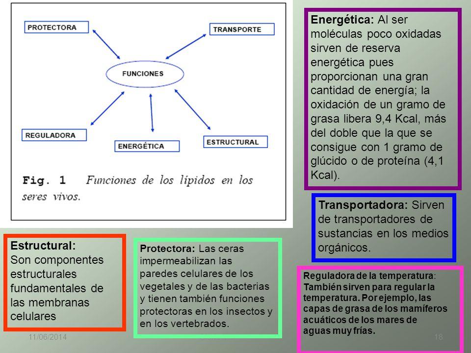 11/06/2014 Gloria Maria Mejia Z. 18 Estructural: Son componentes estructurales fundamentales de las membranas celulares Energética: Al ser moléculas p
