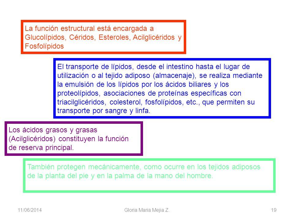 11/06/2014 Gloria Maria Mejia Z. 19 La función estructural está encargada a Glucolípidos, Céridos, Esteroles, Acilglicéridos y Fosfolípidos El transpo