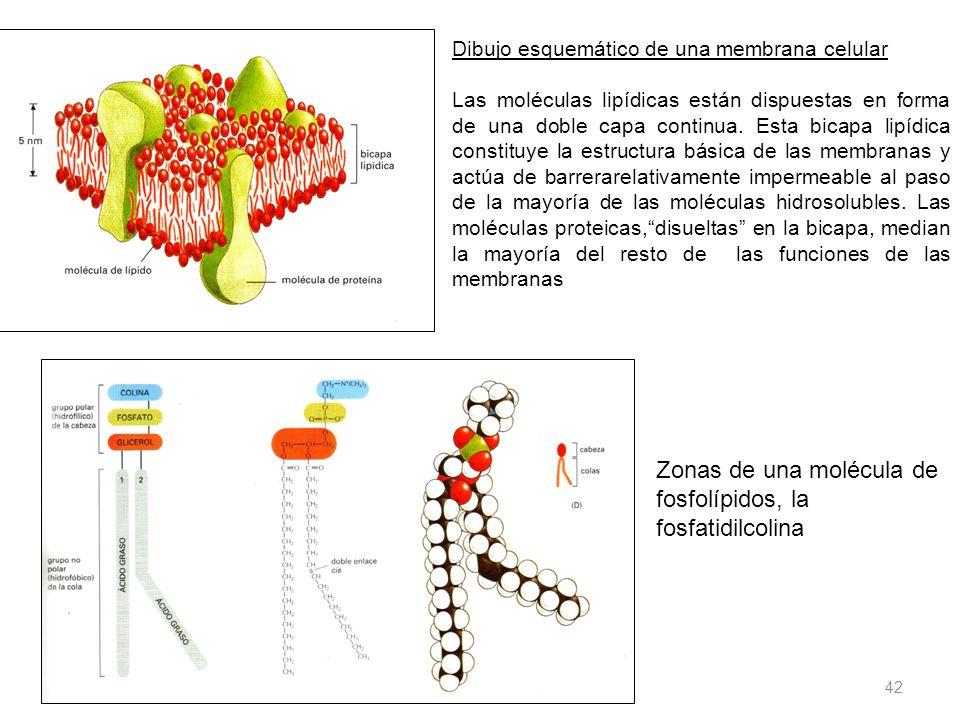 11/06/2014 Gloria Maria Mejia Z. 42 Dibujo esquemático de una membrana celular Las moléculas lipídicas están dispuestas en forma de una doble capa con