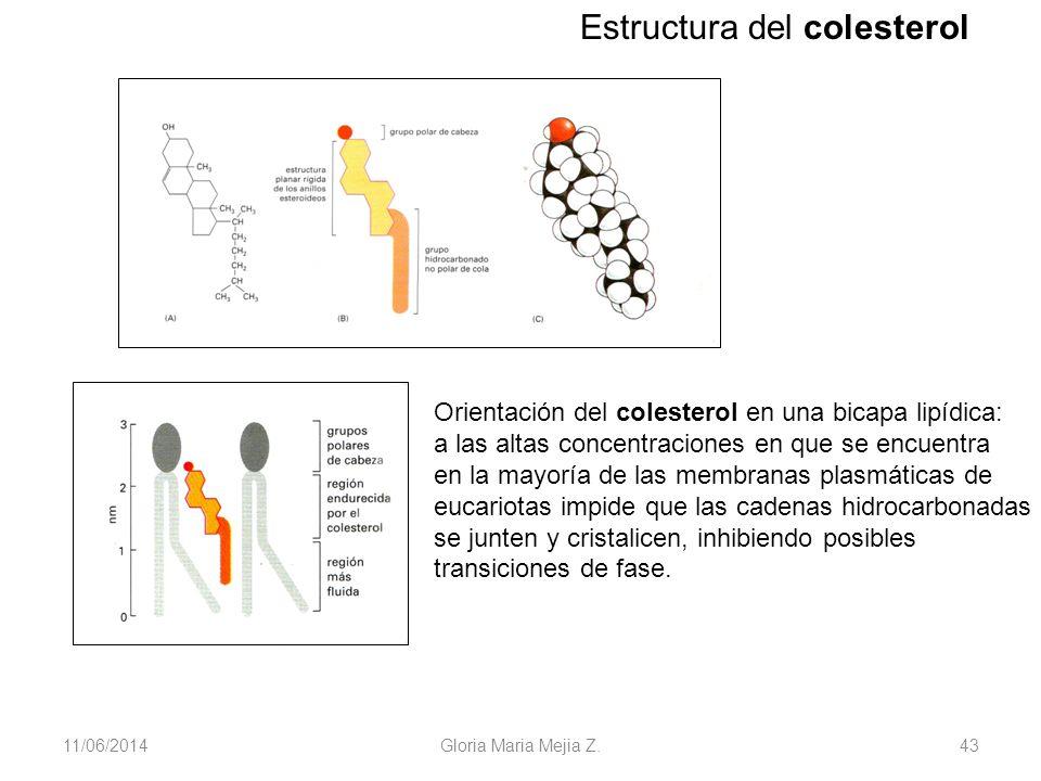 11/06/2014 Gloria Maria Mejia Z. 43 Estructura del colesterol Orientación del colesterol en una bicapa lipídica: a las altas concentraciones en que se
