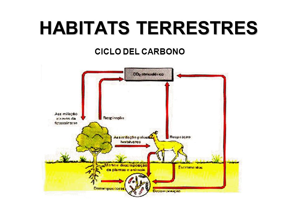 MICROORGANISMOS DEL RUMEN Las plantas están compuestas por polisacáridos insolubles: Celulosa Los herbívoros usan M.O como agentes digestivos