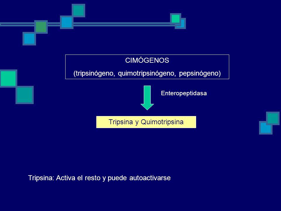 CIMÓGENOS (tripsinógeno, quimotripsinógeno, pepsinógeno) Enteropeptidasa Tripsina y Quimotripsina Tripsina: Activa el resto y puede autoactivarse