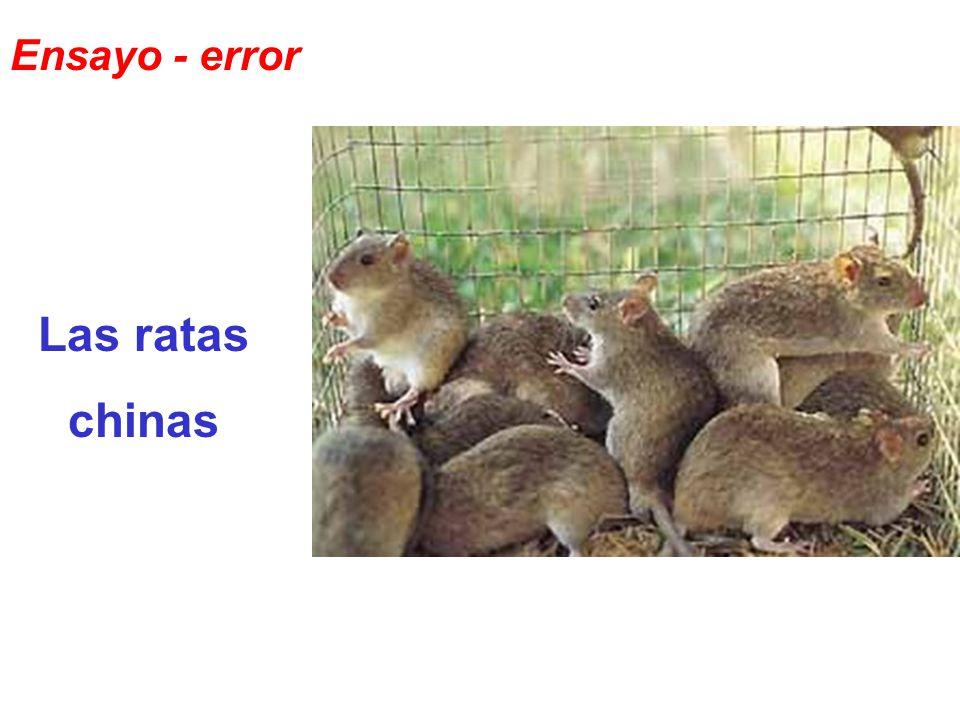 Las ratas chinas Ensayo - error