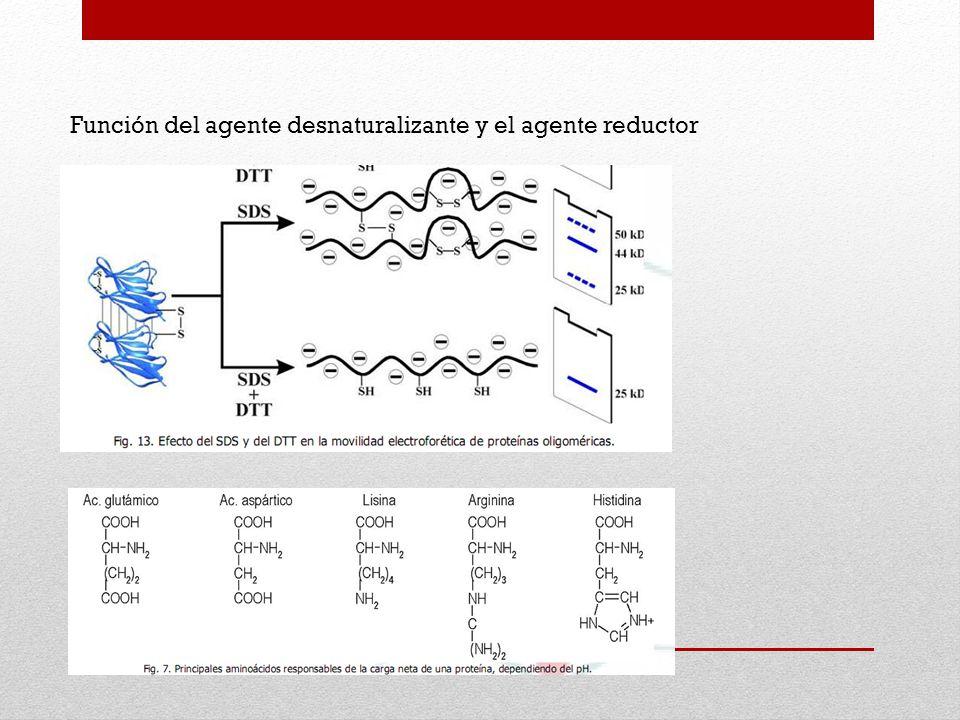 Función del agente desnaturalizante y el agente reductor