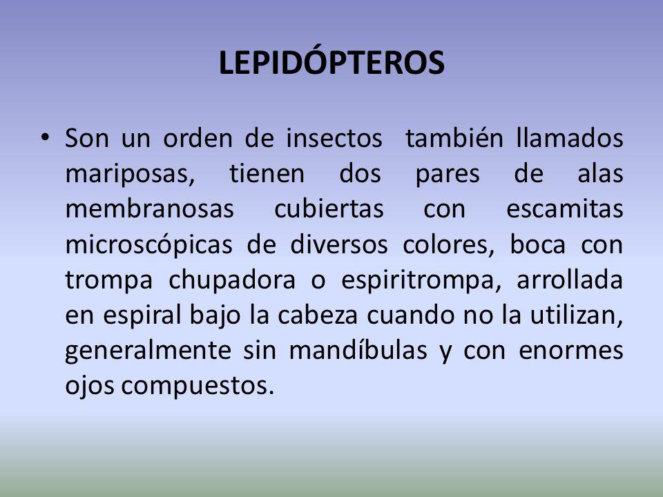 LEPIDÓPTEROS Son un orden de insectos también llamados mariposas, tienen dos pares de alas membranosas cubiertas con escamitas microscópicas de divers