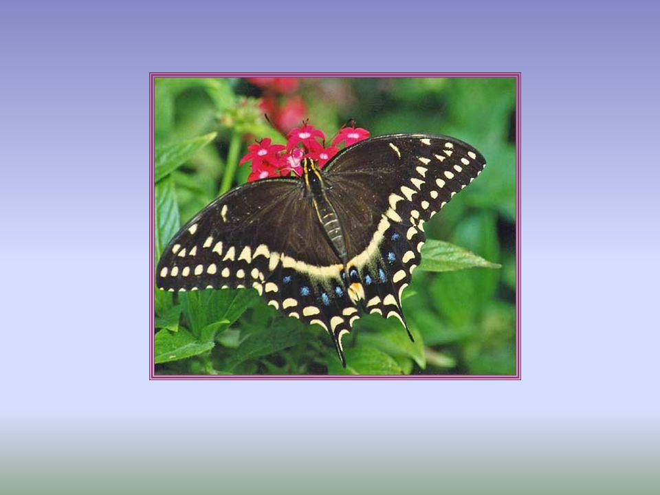 COLEÓPTEROS Son un orden de insectos masticadores, con dos pares de alas, el primero, llamado élitros, endurecido para proteger al segundo, que es membranoso y suele estar plegado en abanico y doblado bajo aquéllos.