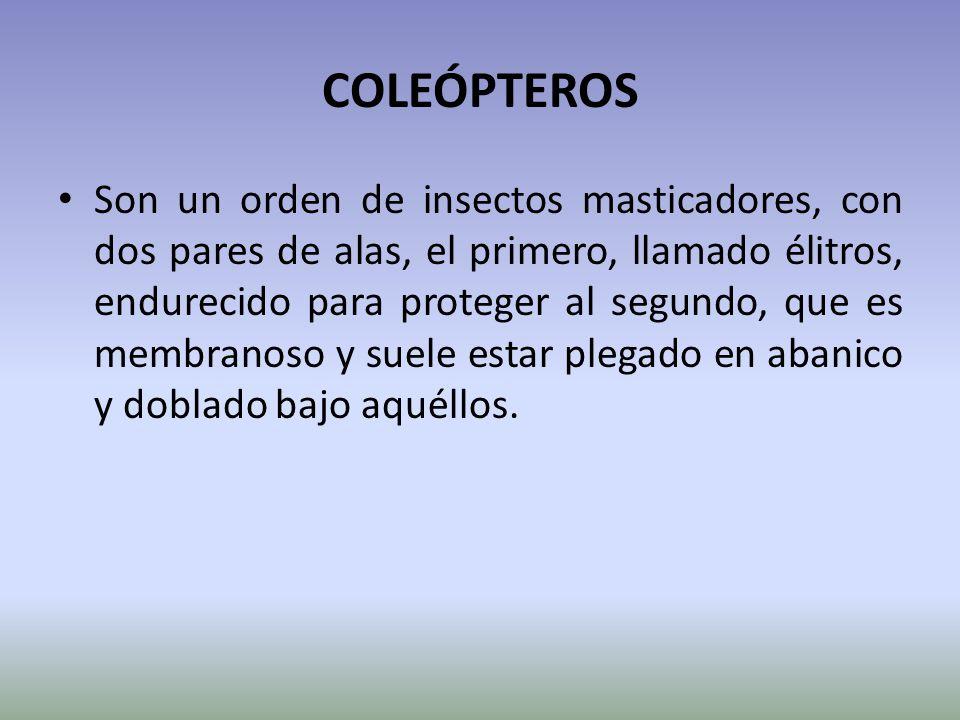 COLEÓPTEROS Son un orden de insectos masticadores, con dos pares de alas, el primero, llamado élitros, endurecido para proteger al segundo, que es mem