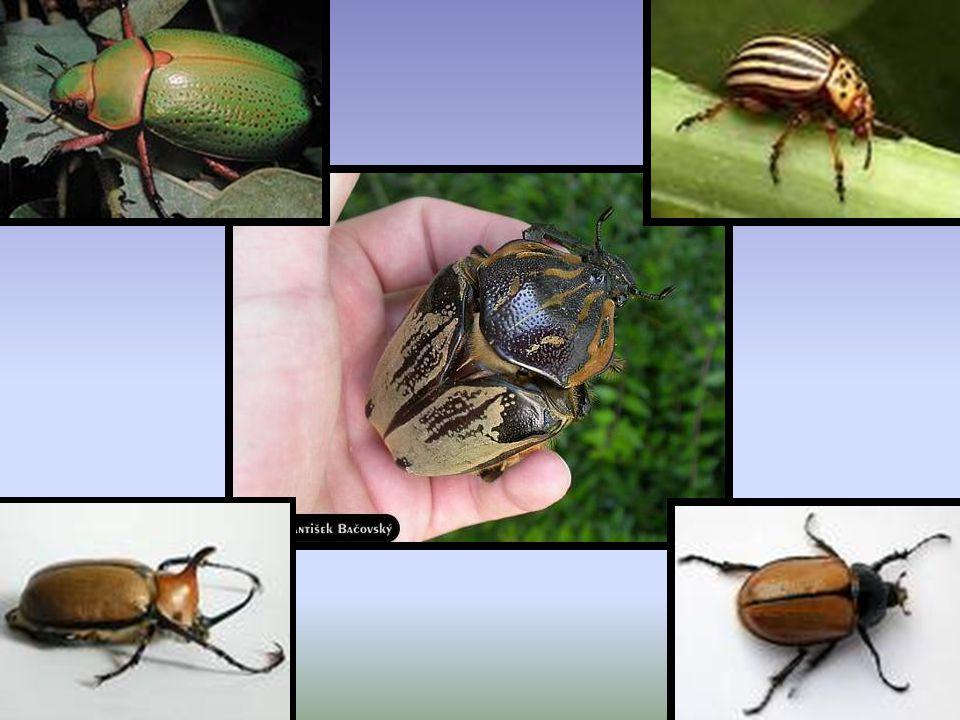 BLACTÁREOS Son insectos caracterizados por poseer cuerpo deprimido y patas largas y finas, adaptadas para correr velozmente.