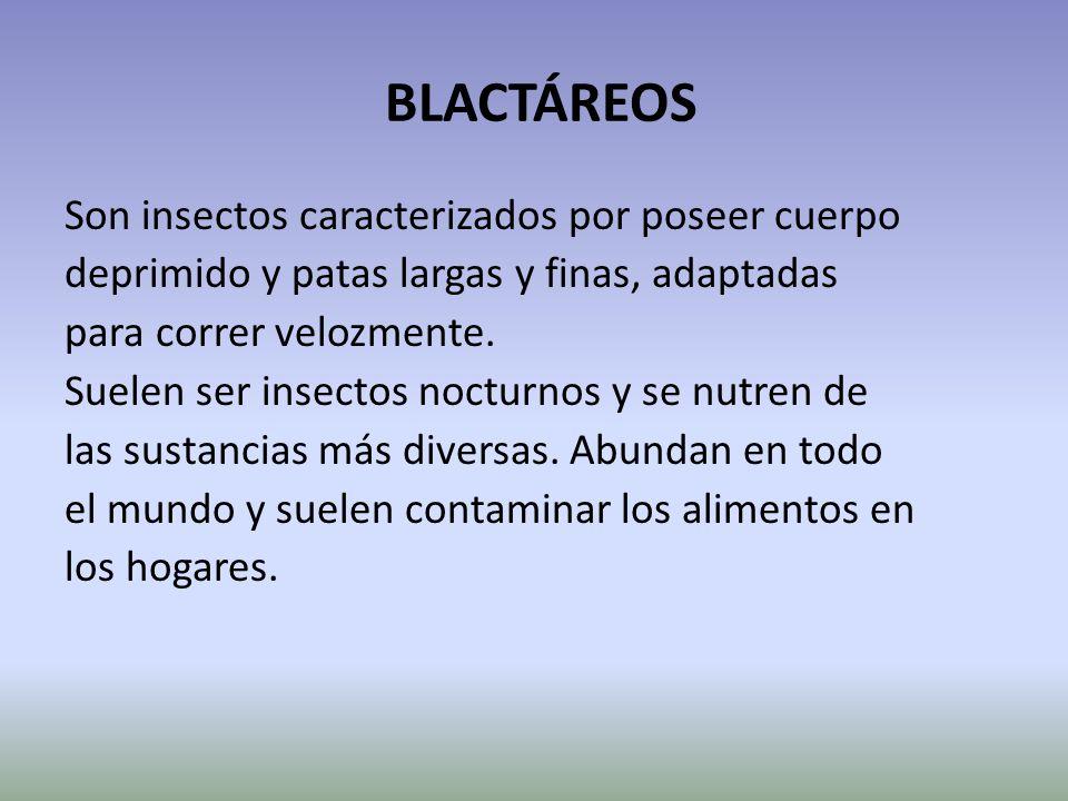 BLACTÁREOS Son insectos caracterizados por poseer cuerpo deprimido y patas largas y finas, adaptadas para correr velozmente. Suelen ser insectos noctu