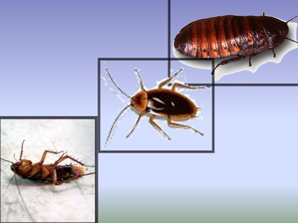 MÁNTIDOS Son insectos depredadores especializados, cuyas patas anteriores constituyen poderosas armas dentadas, diseñadas para poder capturar y sujetar los pequeños animales que conforman su alimento.