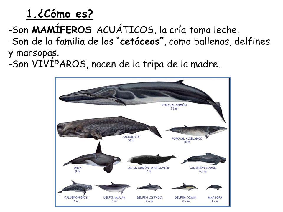 -El delfín mular mide unos 2 m.y pesa 200 Kg.