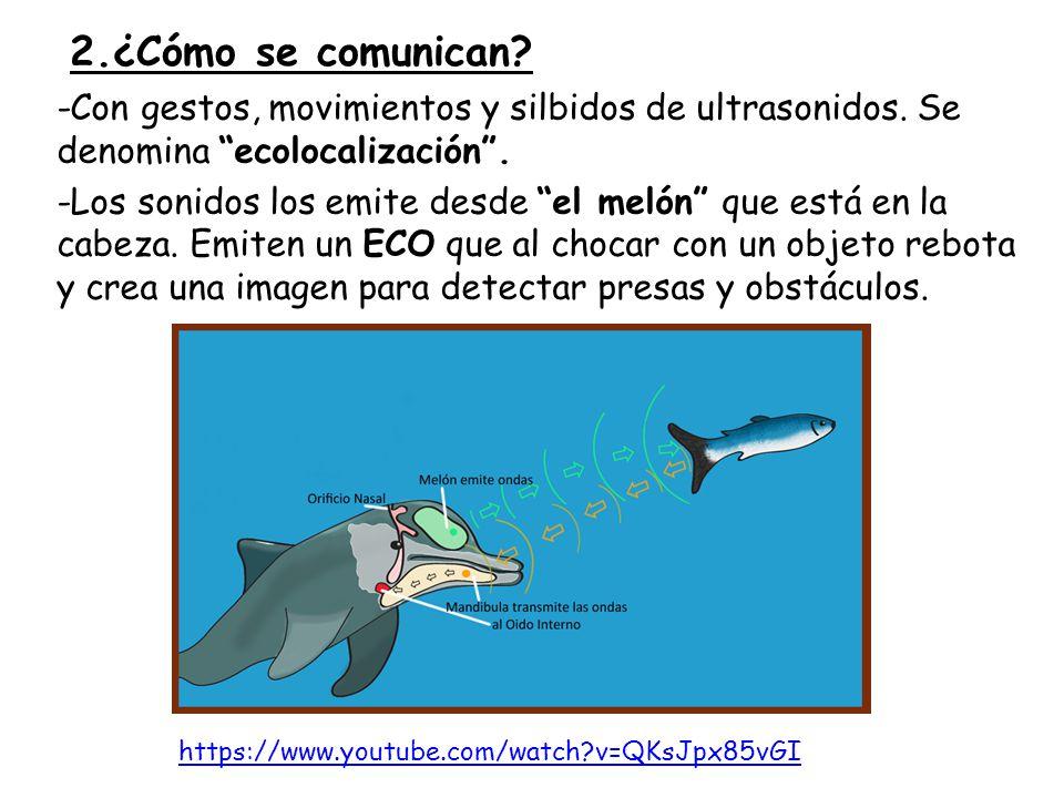 2.¿Cómo se comunican.-Con gestos, movimientos y silbidos de ultrasonidos.