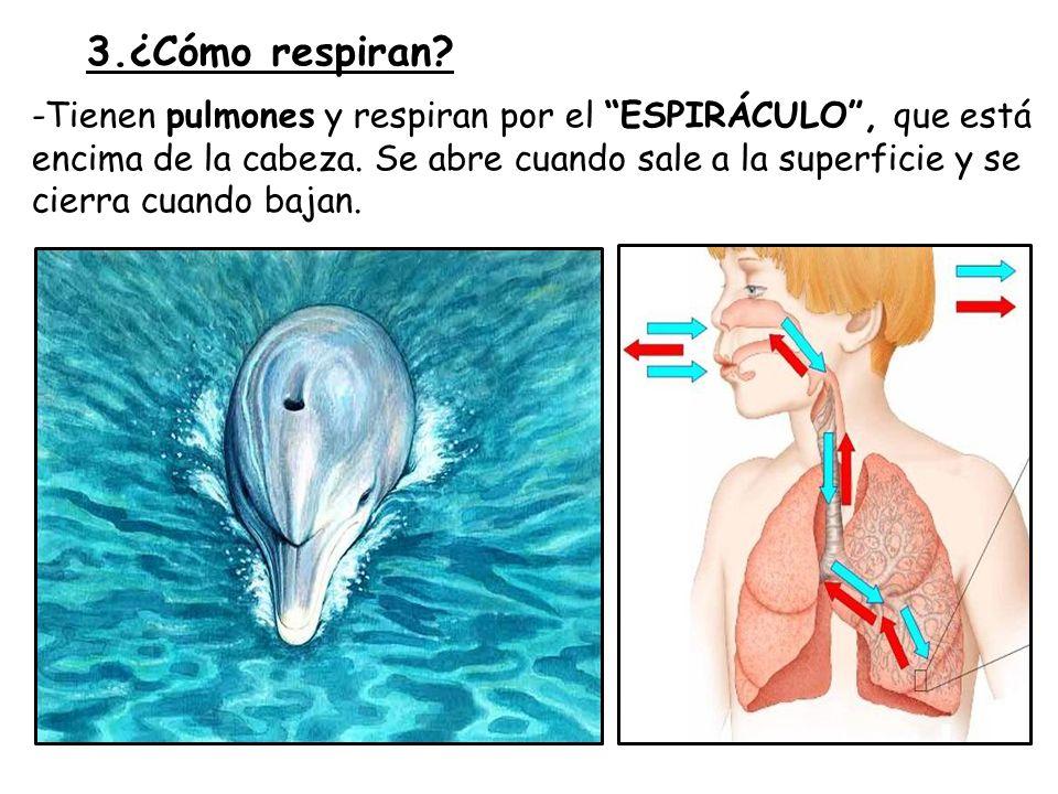 3.¿Cómo respiran.-Tienen pulmones y respiran por el ESPIRÁCULO, que está encima de la cabeza.