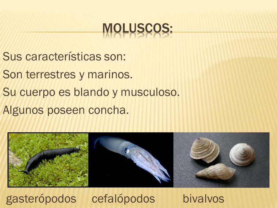 Sus características son: Son terrestres y marinos. Su cuerpo es blando y musculoso. Algunos poseen concha. gasterópodos cefalópodos bivalvos