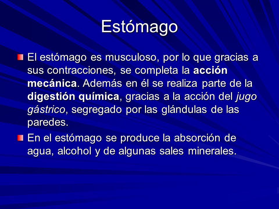Estómago El estómago es musculoso, por lo que gracias a sus contracciones, se completa la acción mecánica. Además en él se realiza parte de la digesti