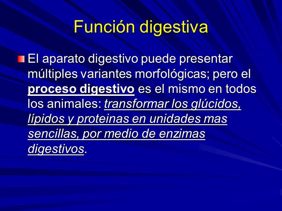 Función digestiva El aparato digestivo puede presentar múltiples variantes morfológicas; pero el proceso digestivo es el mismo en todos los animales: transformar los glúcidos, lípidos y proteinas en unidades mas sencillas, por medio de enzimas digestivos.