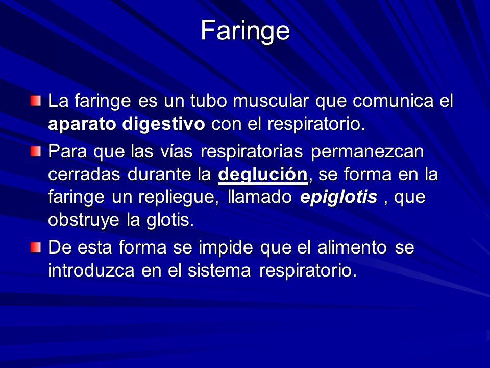 Faringe La faringe es un tubo muscular que comunica el aparato digestivo con el respiratorio. Para que las vías respiratorias permanezcan cerradas dur