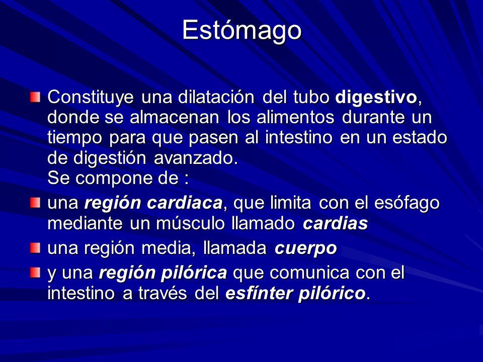 Estómago Constituye una dilatación del tubo digestivo, donde se almacenan los alimentos durante un tiempo para que pasen al intestino en un estado de digestión avanzado.