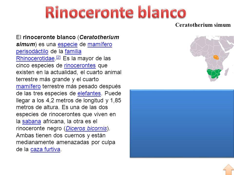 Ceratotherium simum El rinoceronte blanco (Ceratotherium simum) es una especie de mamífero perisodáctilo de la familia Rhinocerotidae. [2] Es la mayor