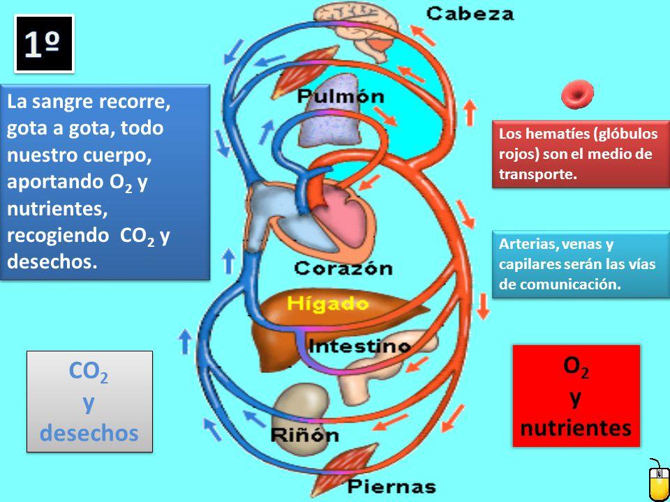 La sangre recorre, gota a gota, todo nuestro cuerpo, aportando O 2 y nutrientes, recogiendo CO 2 y desechos.