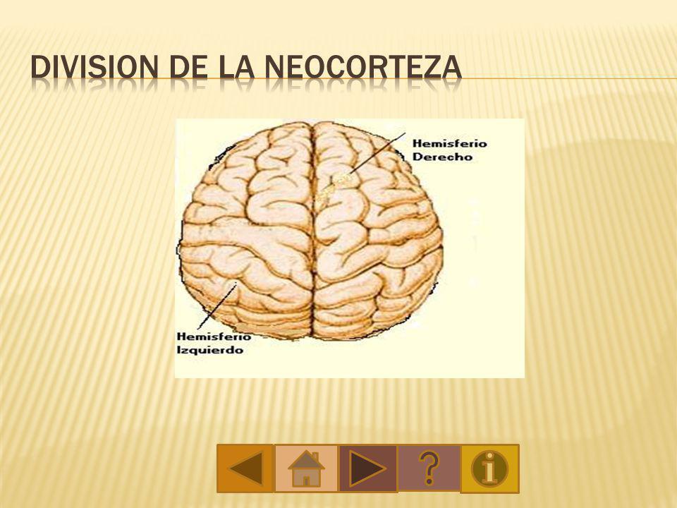 Está situado debajo del tálamo, en las paredes del tercer ventrículo y se encuentra en el diencéfalo.