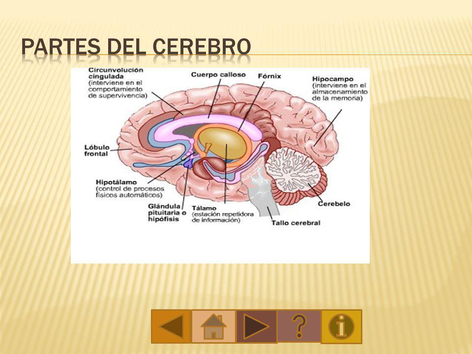 El cerebro humano, es el motor o computadora central del sistema nervioso central.