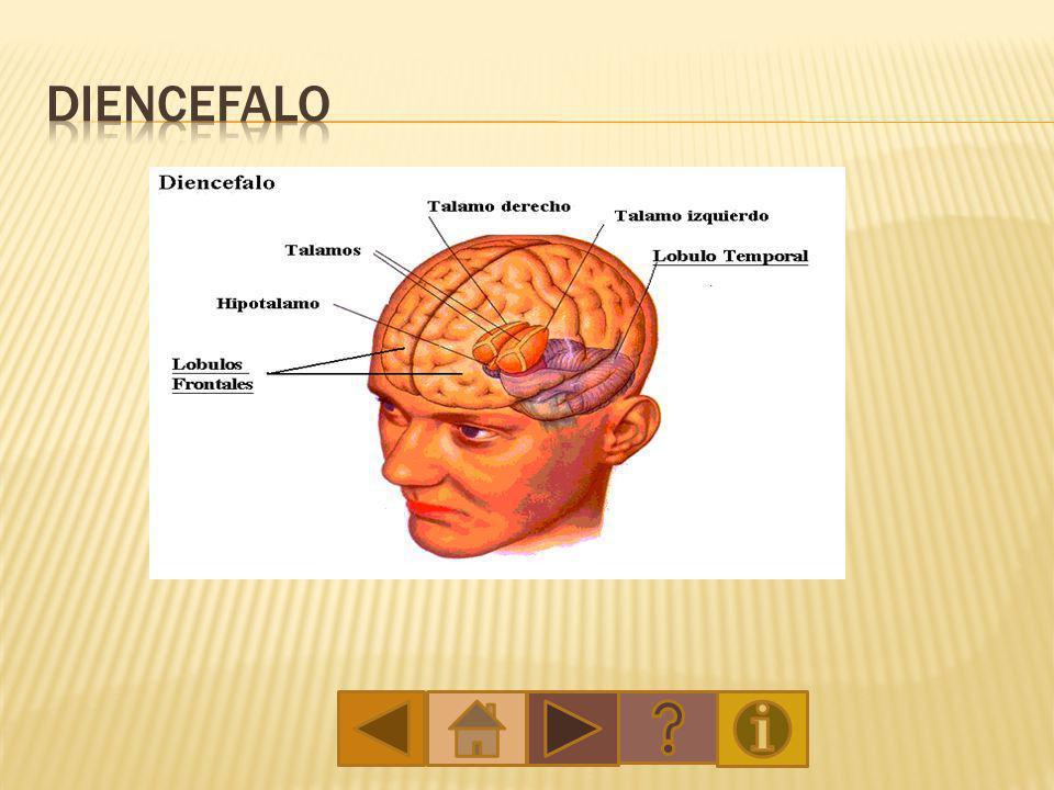Lóbulo occipital – se encuentra en la parte de atrás del cerebro y se responsabiliza de la percepción visual.