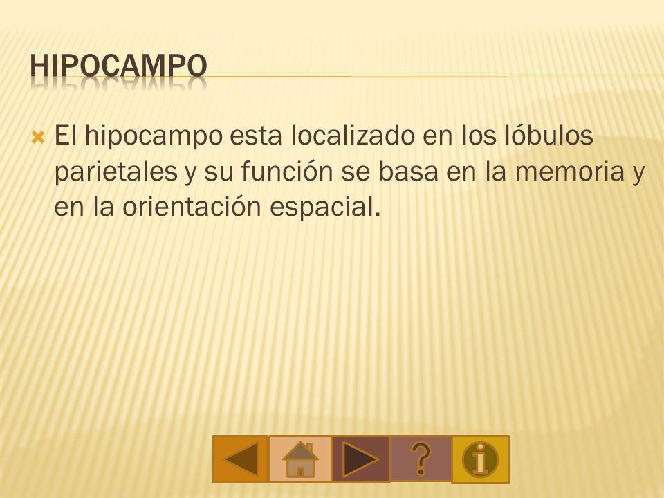 El hipocampo esta localizado en los lóbulos parietales y su función se basa en la memoria y en la orientación espacial.
