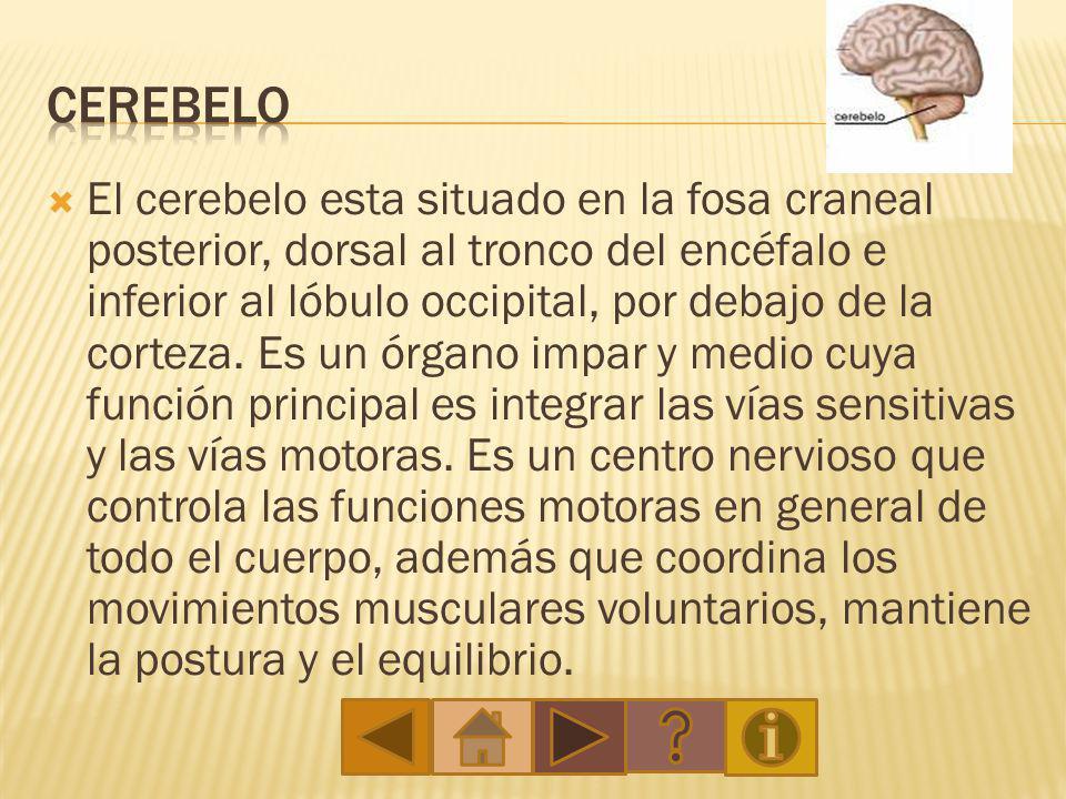 2- ¿Junto a que sistema trabaja el cerebro.